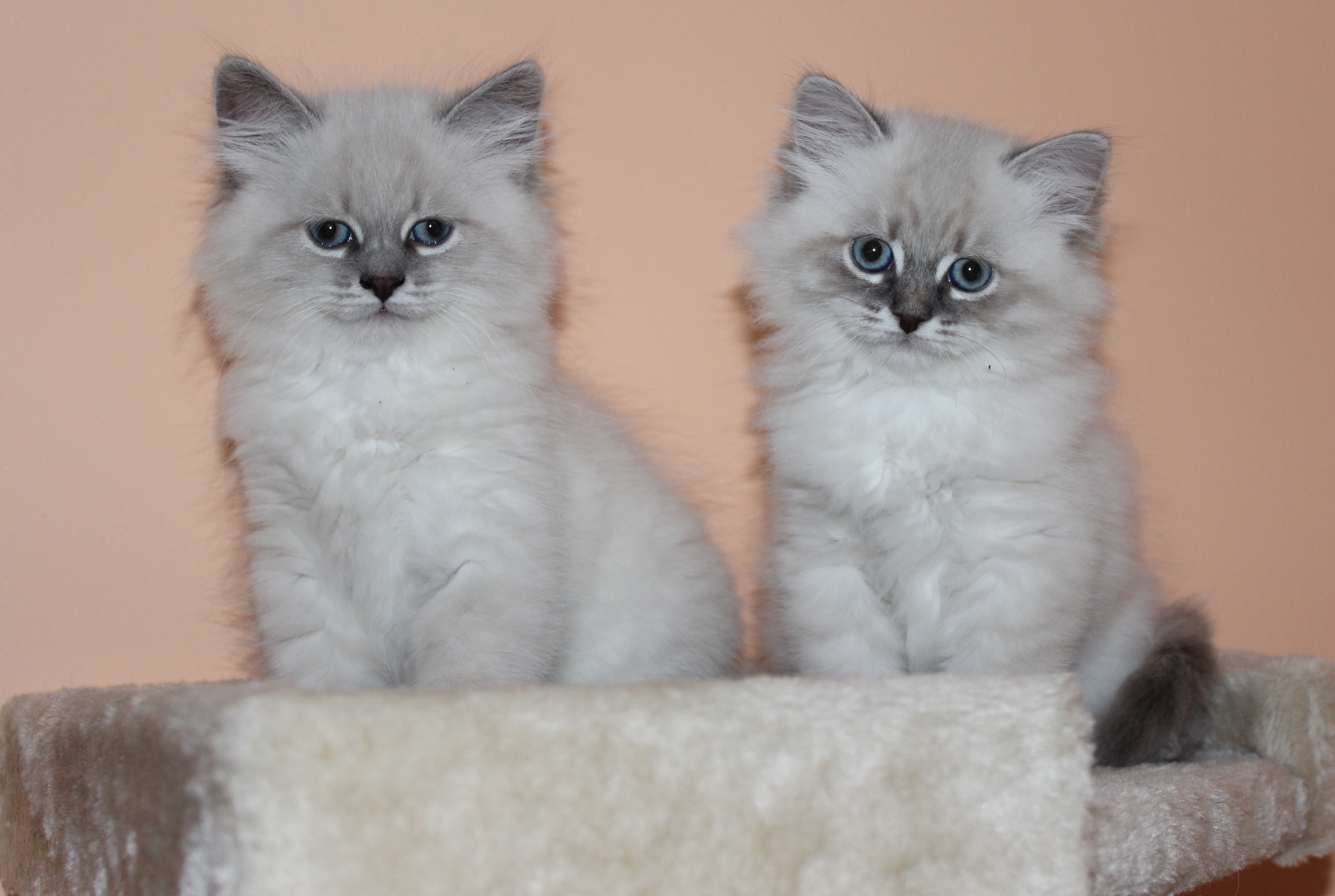 Siberian Miracle Cattery