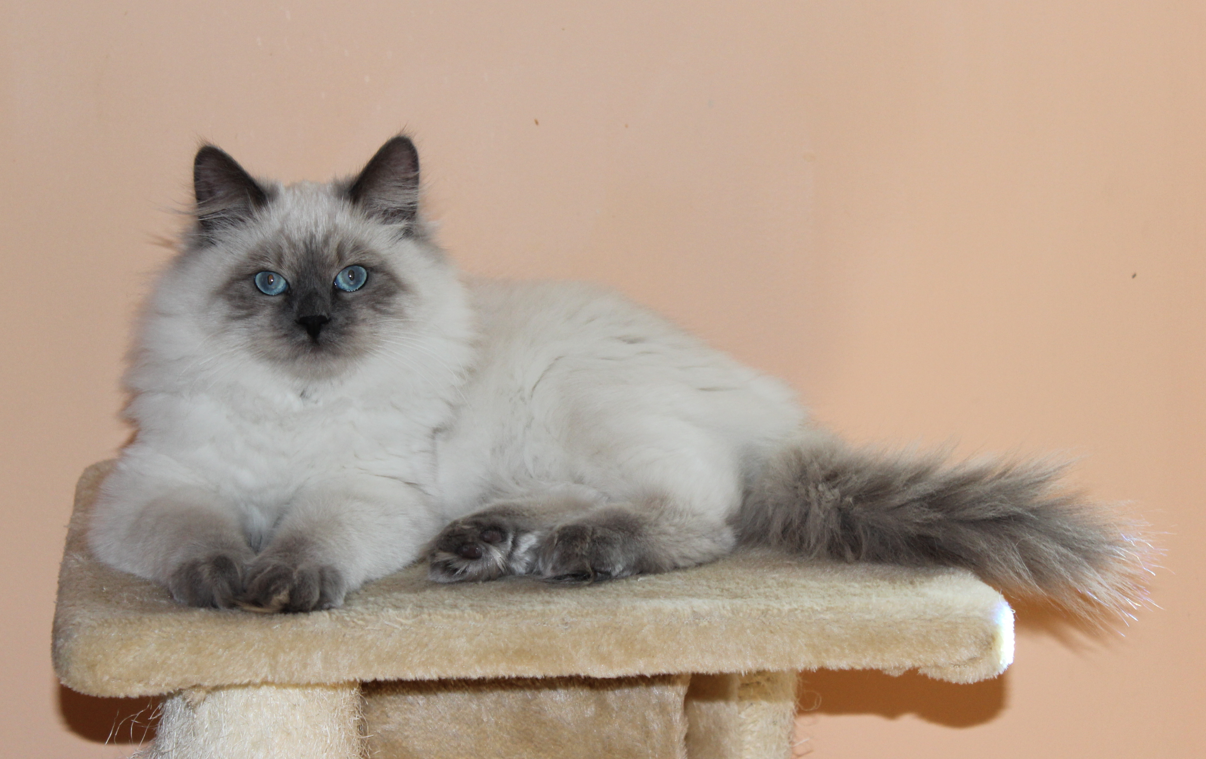 Our cats | Siberian Miracle Cattery